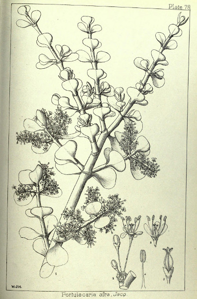 Portulacaria afra, 1899 in Wood and Evans' Natal Plants, Plate 78