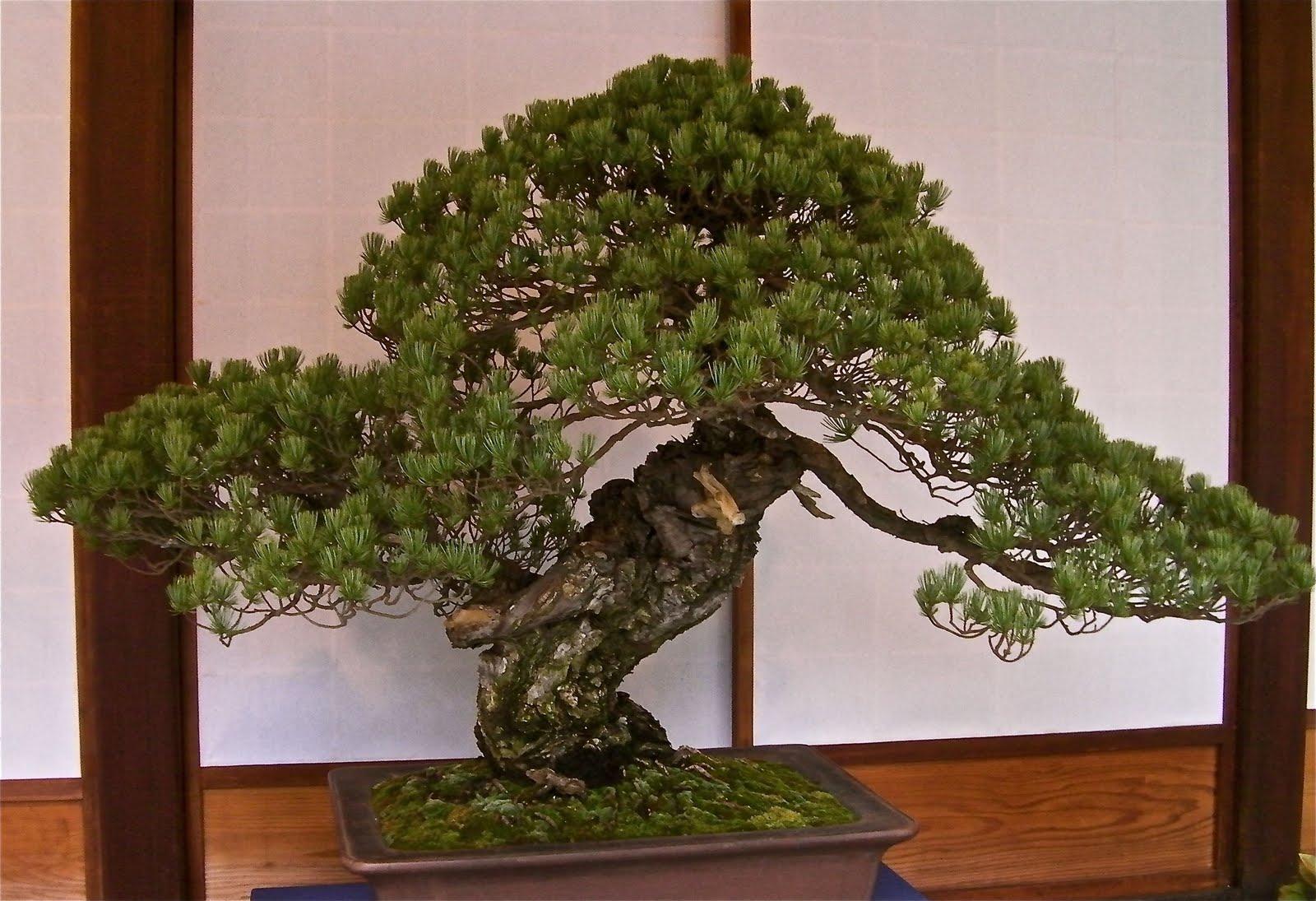 Tokugawa Iemitsu's Pine
