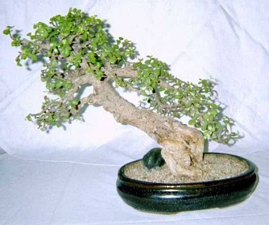Portulacaria afra Monograph, the Elephant's Food or Spekboom ... on map of abia, map of africa, map of haiti,